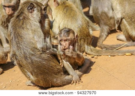 Group Of Monkeys.