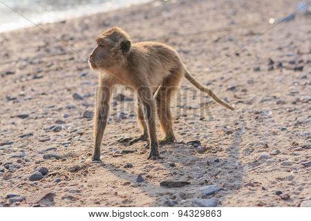 Monkey On The Shore
