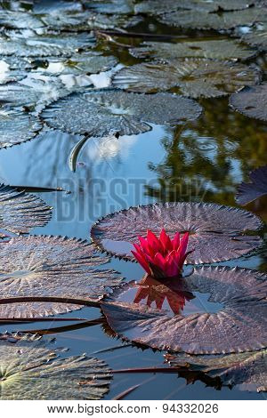 Single pink exotic water lily in tropical pond Tobago