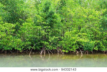 Mangrove Swamp In Petit Canal In Guadeloupe