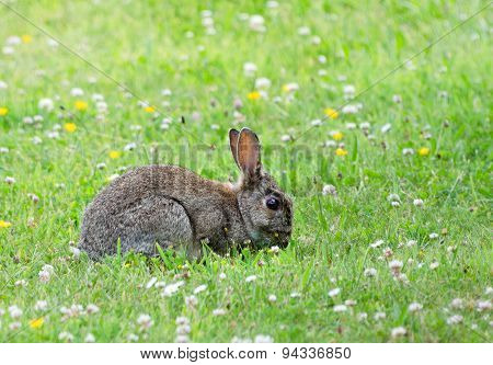 Rabbit On A Lawn