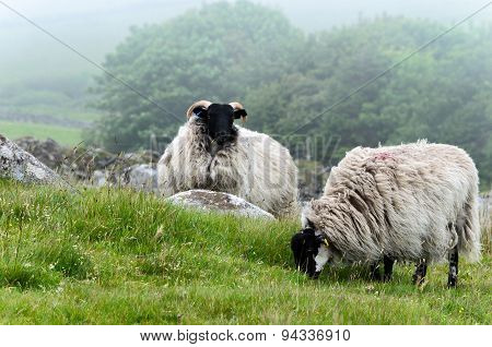 Sheep On Bodmin Moor