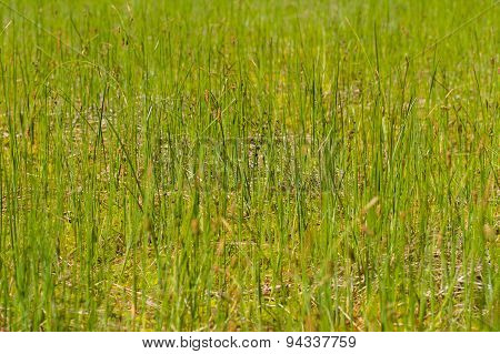 Fresh Green Grass In Swamp, Blurred Background