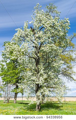 Lush Blooming Tree Under Blue Sky