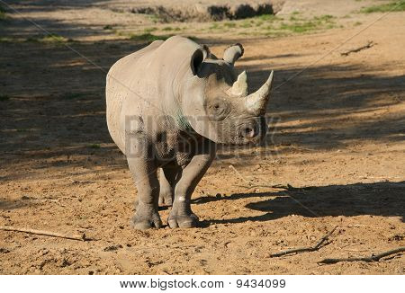 Rhinoceros In Sun In Wild