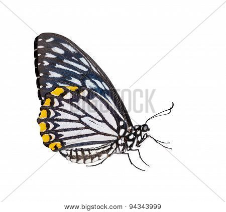 Isolated Male Common Mime Butterfly