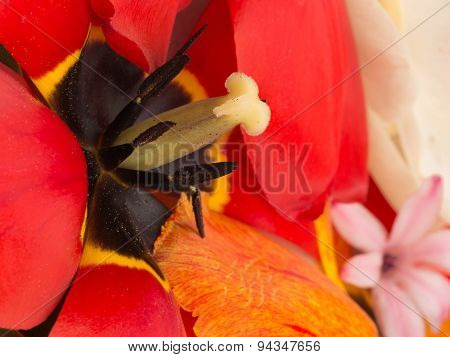 Pistil And Stamens Of Red Tulip