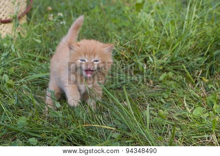 Meow. Red small kitten in grass.