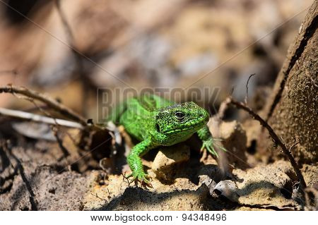 Green Lizard Stalking Among Stones, Fallen Leaves And Twigs, Front View