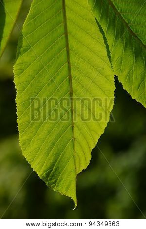 One Horse Chestnut Textured Green Leaf In Back Lighting On Green Background