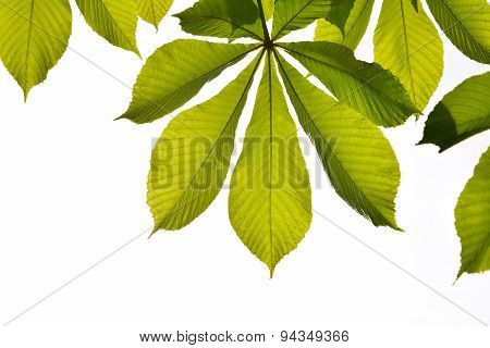 Frame Of Translucent Horse Chestnut Textured Green Leaves In Back Lighting On White Background