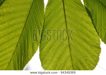 Translucent Horse Chestnut Textured Green Leaves Close Up In Back Lighting Isolated On White Sky Bac