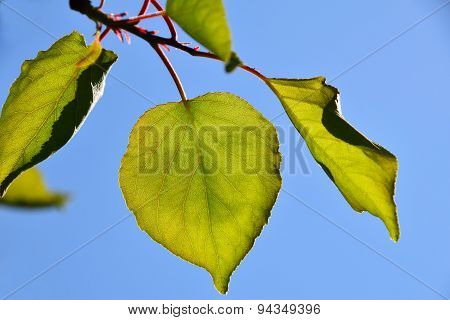 Shiny Vivid Translucent Apricon Tree Leaves On Bright Blue Sky Background, Landscape, Different Take