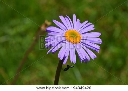 One Purple Alpine Aster Flower On Background Of Green Grass