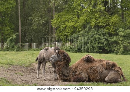 Camel With Foal