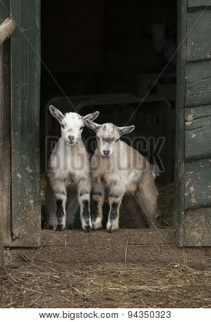 Two Young Four Horned Goats