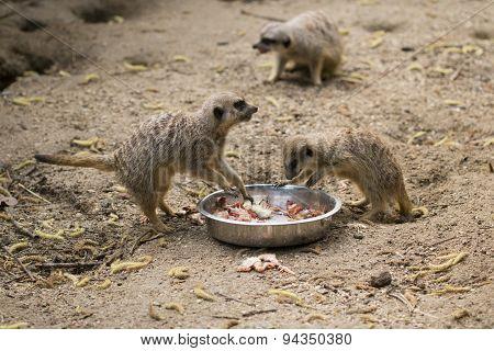 Meerkats Eating Chicks