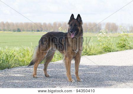 Belgian Shepherd Tervuren, Standing