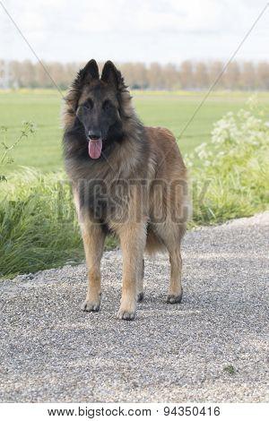 Belgian Shepherd Tervuren, Dog, Standing