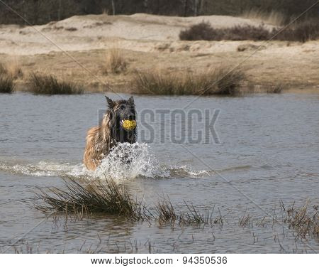 Dog Running In The Water With A Ball