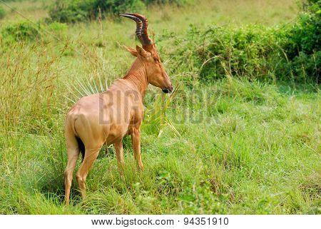 Antelope Lelwel Hartebeest