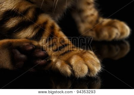 Closeup Paws of Bengal Kitty on Black