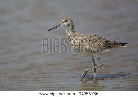 Willet Wading In Shallow Water