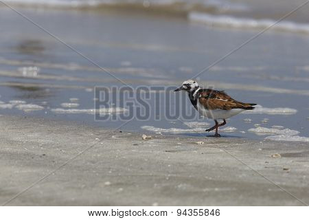 Ruddy Turnstone Moulting Into Spring Plumage On A Texas Beach