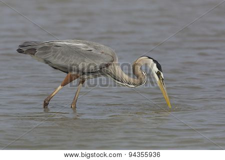 Great Blue Heron Stalking A Fish