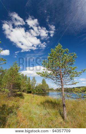 Small pine tree near lake