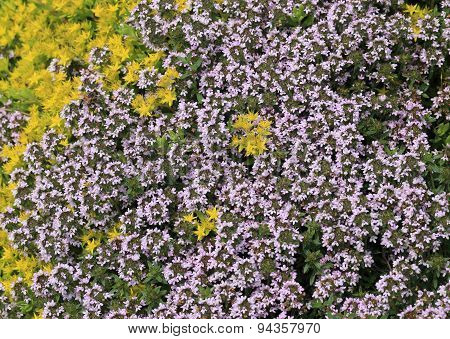 Thyme and sedum - background