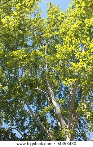 The leaves of the poplars in the sun