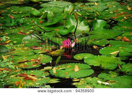 Pink flowering water lily