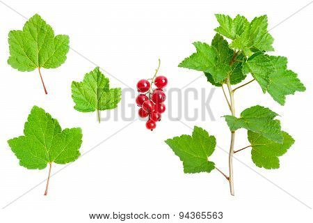 Redcurrant - green leaves, stalk and ripe red fruits, on a white background.