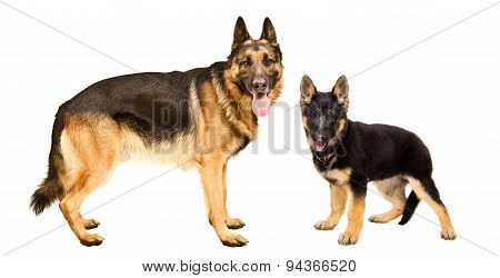 Dog and puppy German Shepherd standing together