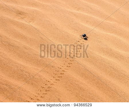 Black Beetle Moves Through The Sand.