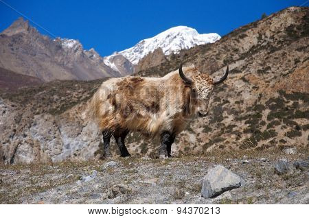 Long-haired yak