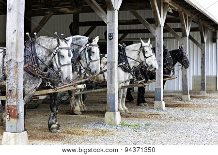 Six horses hitched up to wagons (not visible in image) under a barn overhang. waiting to begin their work day.