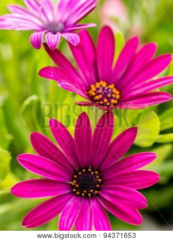 Closeup shot of osteospermum flowers