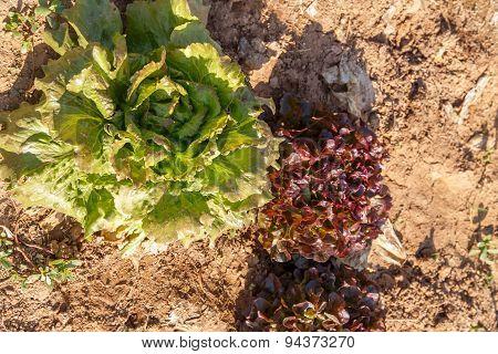 Lettuce Salad Growing