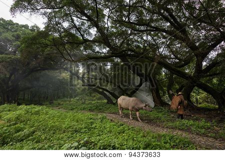 farmer walks his buffalo in a forest in China