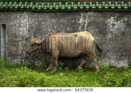 water buffalo outside a concrete house wall