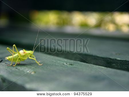 Grasshopper On Green Wood  Bench