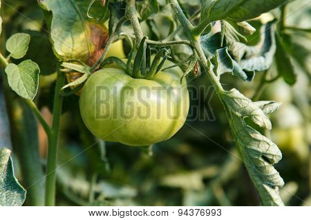 Tomatoes In Plant