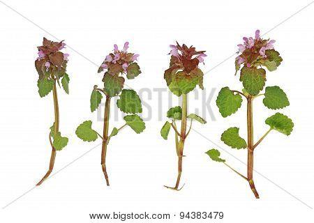 Pink Deadnettle Wildflower