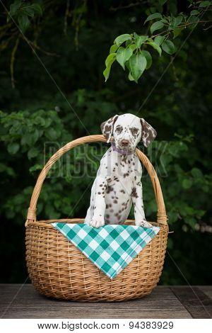 adorable dalmatian puppy posing in a basket