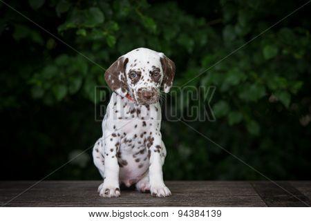 adorable dalmatian puppy outdoors
