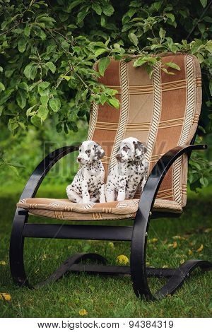 two adorable brown dalmatian puppies