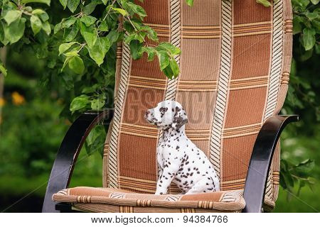 adorable dalmatian puppy outdoors
