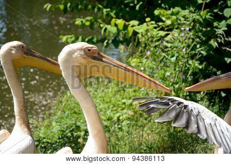 Pink Pelicans.